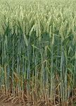 180px-Wheat_field